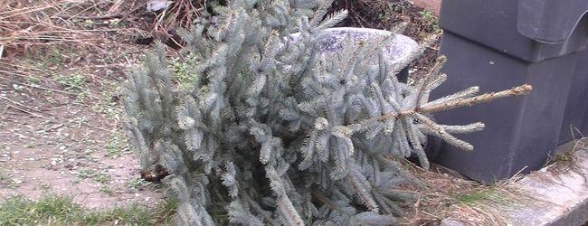 Weihnachtsbaumabfuhr ab 16. Januar
